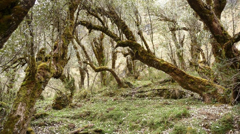 Polylepis forest below El Altar