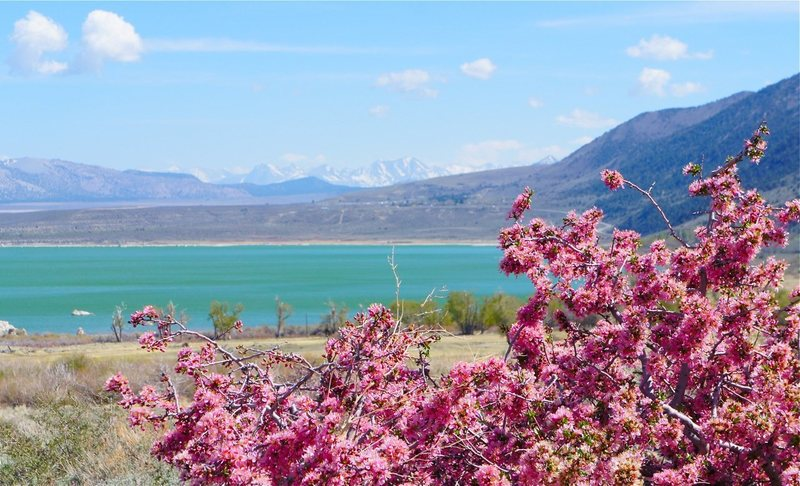 Mono lake, pink-flowering bush, and Sierra