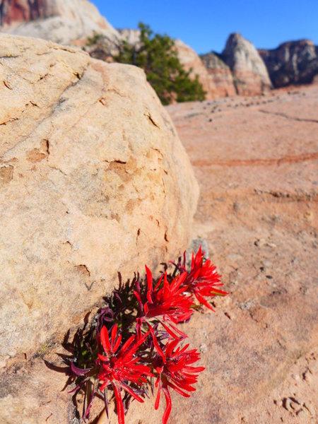 Rock Climbing Photo: Indian paintbrush