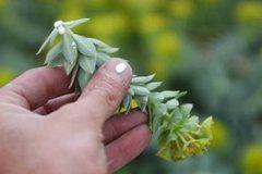 "Rock Climbing Photo: ""Myrtle Spurge"".  Euphorbia myrsinites (..."