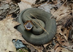 Rock Climbing Photo: Water Moccasin 2