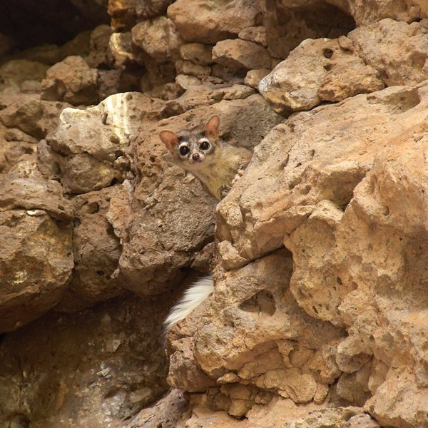 Ring-tailed cat at the Enchanted Tower, NM.