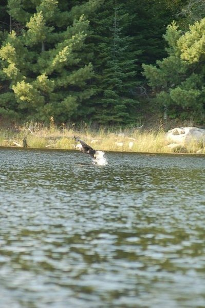 Rock Climbing Photo: Eagle grabbing fish.