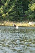 Eagle grabbing fish.
