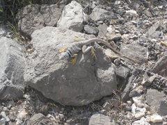 Rock Climbing Photo: West Desert local.