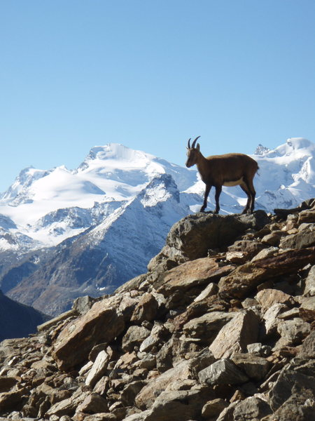 One of the locals heading up to climb the Jeigihorn near Saas-Fee Switzerland a couple years ago.