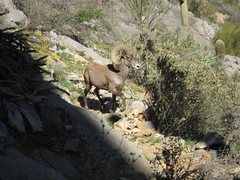 Rock Climbing Photo: Desert Bighorn at 30 feet.  Watched his girlfriend...