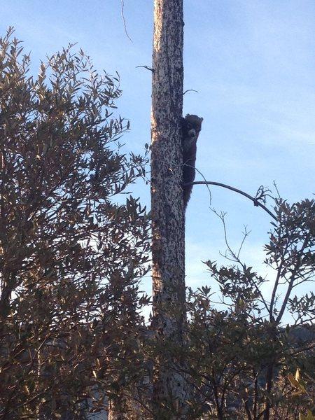 Rock Climbing Photo: Coatimundi climbing next to us in Munchkinland
