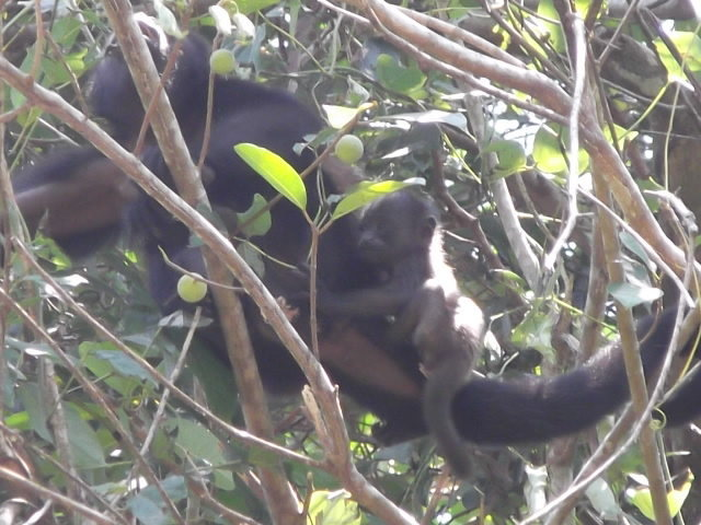 Rock Climbing Photo: Baby Howler Monkey