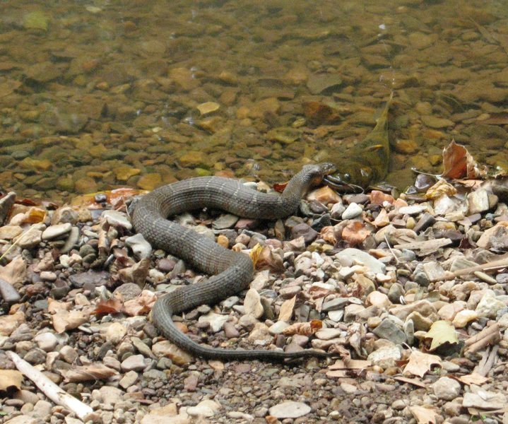 Northern water snake eating a catfish. Mmmm good!<br> taken at Carderock Maryland a couple years ago