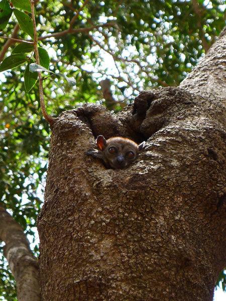another lemur shot (Ankarana Reserve, Madagascar)