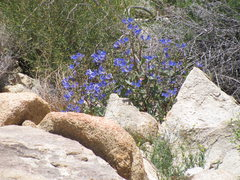 Rock Climbing Photo: Spring wildflowers in the Quail Springs area.