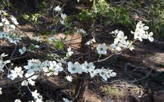Rock Climbing Photo: Spring in the Valley .. and the dogwoods are flowe...