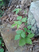 Rock Climbing Photo: Juvenile Poison Ivy. Poison Ivy is already in full...