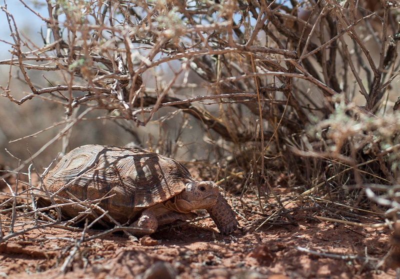 Small Desert Turtle found at Red Rock
