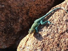 Rock Climbing Photo: Collard Lizard in the Wichita Wildlife Refuge