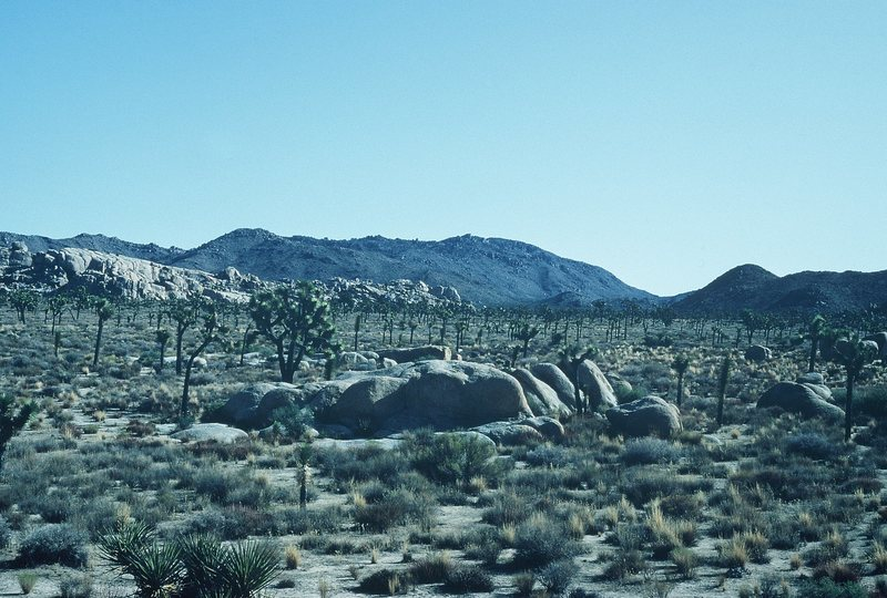 Rock Climbing Photo: March of the Joshua Trees!