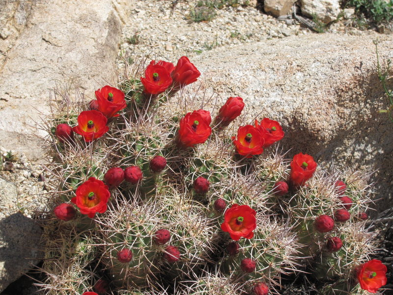 Springtime in Joshua Tree brings out the cactus blooms.