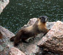 Rock Climbing Photo: Marmot.