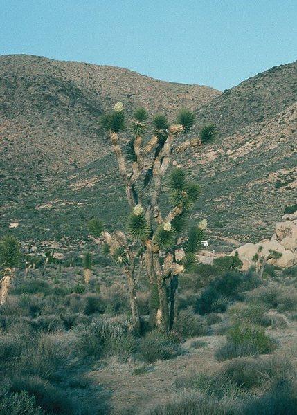 Rock Climbing Photo: Blooming Joshua Tree.