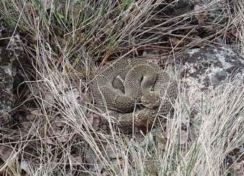 Rock Climbing Photo: Rattler in early spring