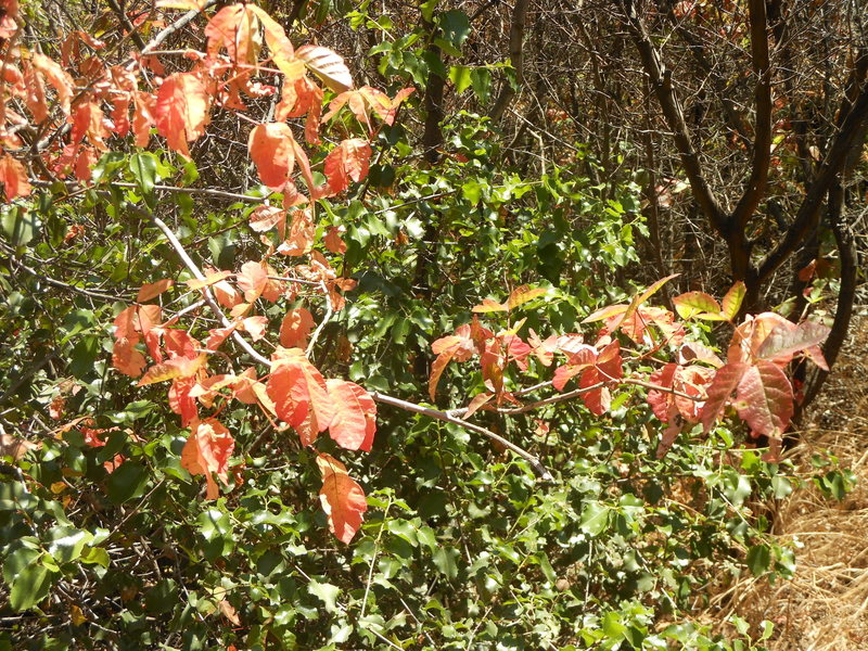 Rock Climbing Photo: The Poison Oak is really blooming along the Mishe ...