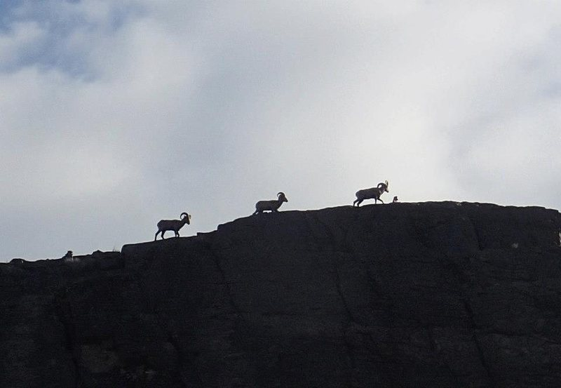 Big Horn Sheep atop West Wall