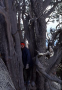 Rock Climbing Photo: The old juniper above the Swamp Slabs at Granite M...