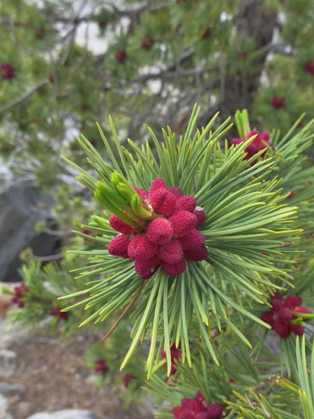 even the pines are colorful this time of year