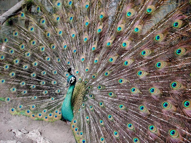 Rock Climbing Photo: Thai Peacock