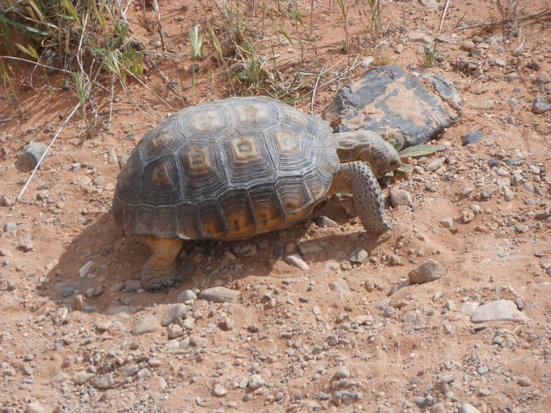 Desert tortoise eating greens along the trail to the Dog Wall.