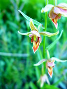 Rock Climbing Photo: Epipactis gigantea (stream orchid)