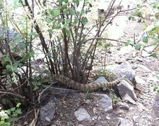Rattlesnake at Creekside, Clear Creek Canyon