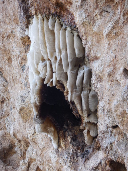 The magnificent honeycomb that resided above the cave on the east face of the Elephant Head has been destroyed by some thoughtless souls.