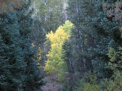 Rock Climbing Photo: Aspen trees at Timber Creek CG, Ely