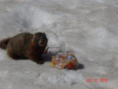 Rock Climbing Photo: a victorious Marmot