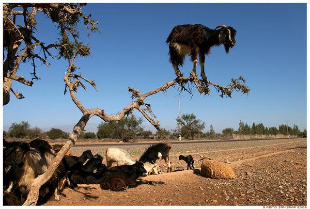 Lone goat..