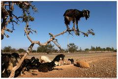 Rock Climbing Photo: Lone goat..