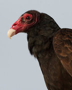 Rock Climbing Photo: Turkey vulture