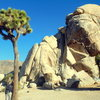 Standing next to a Joshua Tree 3x my size!