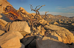 Rock Climbing Photo: Dead tree out by Dutzi Rock with Saddle Rocks in t...