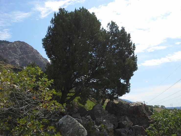 The cedar tree where you turn to head up the talus to Madison Wall