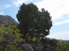 Rock Climbing Photo: The cedar tree where you turn to head up the talus...