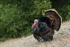 Rock Climbing Photo: Wild turkey - looking more Montecito than Santa Ba...