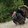 Wild turkey - looking more Montecito than Santa Barbara. <br> <br> Seen on an outing to Skofield Park.