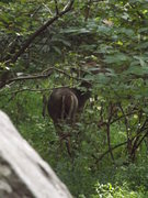 Rock Climbing Photo: The whitetail deer population has burgeoned along ...