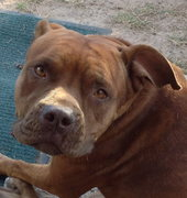 Found: pitbull pup.