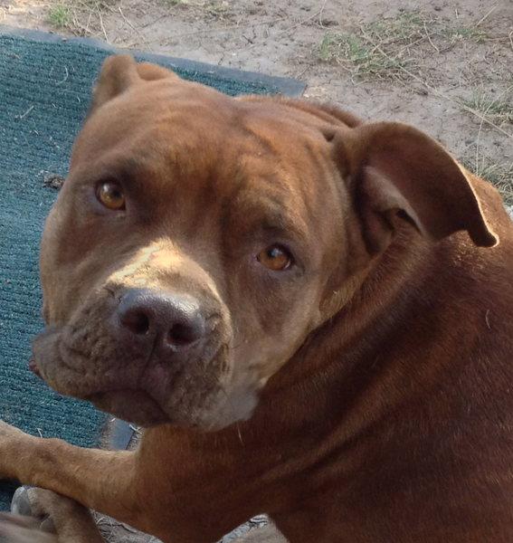 Found: pitbull pup