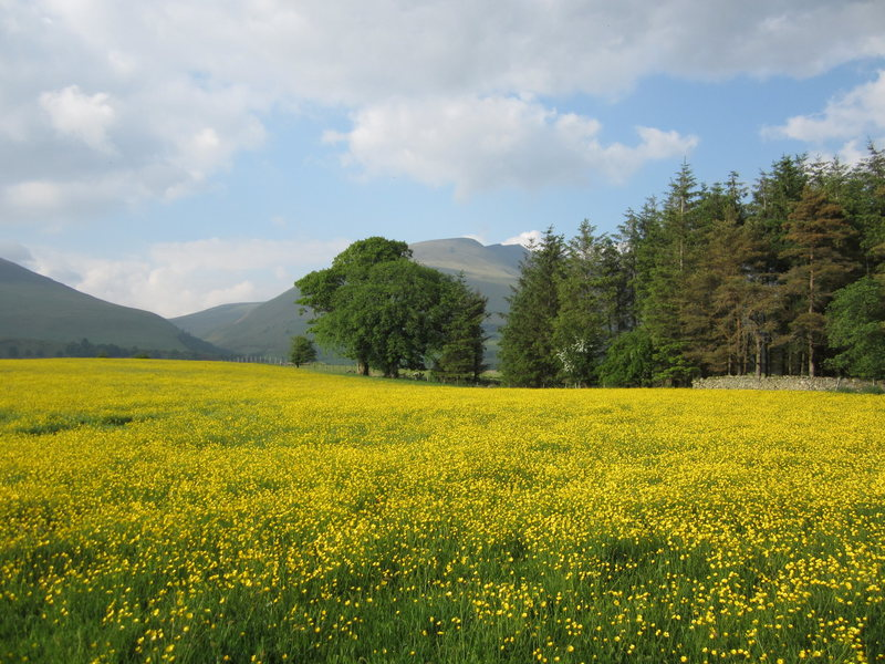 A field of Buttercups with the Blencathra Mountain in the background. Just outside the town of Keswick
