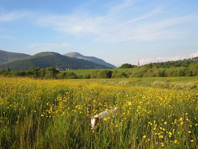 A field of Buttercups .. UK